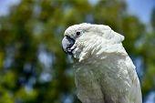 White parrot zoo, pretty, sulphur, tree, parrot native feather avian australian poster