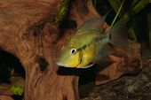 Yellow Fire Mouth (Thorichthys passionis) - Male poster