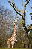 A beautiful tall giraffe extends it's long tongue to eat from tree. poster