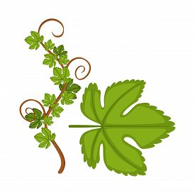 Vector Design Of Grape And Leaf Logo. Set Of Grape And Texture Stock Symbol For Web.