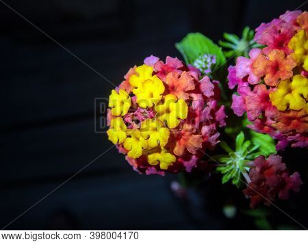 A Macro Photograph Of A Lantana Camara Plant Against A Dark Background. A Bright Colorful Flower Con