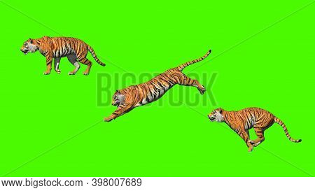 Bengal Tiger Pose Jump Animation With Pose To Pose By 3d Rendering Include Green Screen.