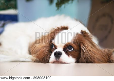Dog Breed Cavalier King Charles Spaniel On The Background Of Christmas Decoration Of The Holiday