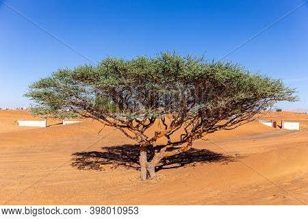 Single Acacia Tree On A Sandy Desert In Al Madam Buried Ghost Village In United Arab Emirates.