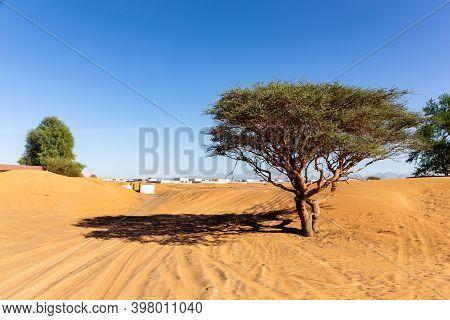 Acacia Tree And Wild Ghaf Trees On A Sandy Desert In Al Madam Buried Ghost Village In United Arab Em