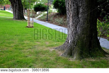 Attractive Leaves Are Deeply Cut Maples, Are Medium Green At The Top And Conspicuously Silvery At Th