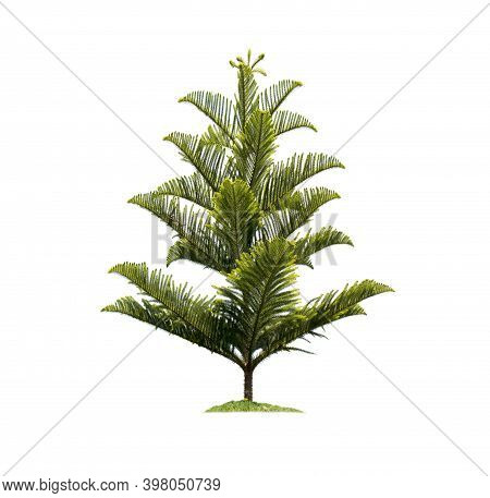 Pine Tree Isolated On White Background With Clipping Paths For Garden Design. The Main Elements Of T
