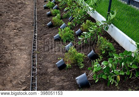 Planting A Hedge Of Shrubs In Plastic Black Pots Individual Shrubs Close Together Evergreen Ornament