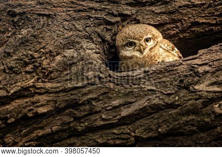 Spotted Owlet Or Athene Brama In His Nest At Keoladeo Ghana National Park Or Bharatpur Bird Sanctuar