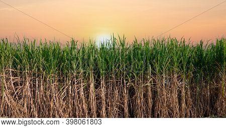 Green Sugar Plant At Sunset