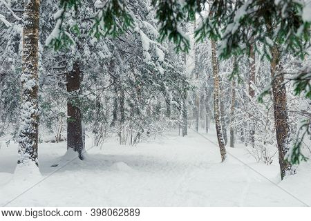 Blizzard And Blizzard In The Winter Forest. Picturesque Forest Winter Landscape.