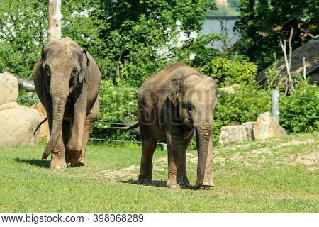The Group Of Happy Adult And Baby  Elephants On The Pasture In The Zoological Garden. They Look Sati