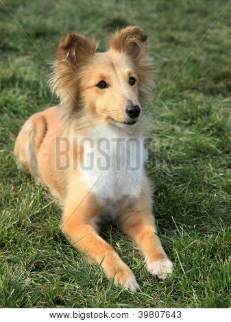 Nise posing Shetland Sheepdog on the green grass poster