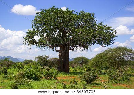 Baobab in Kenya, Africa