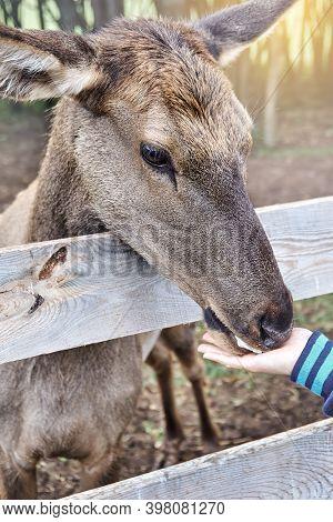 Noble Deer. Deer Feeding On A Reindeer Farm