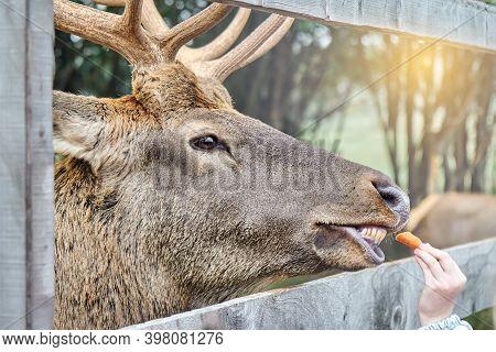 Noble Deer On A Reindeer Farm. Deer Feeding