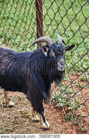 Black Goat. Black Nigerian Goat On A Reindeer Farm