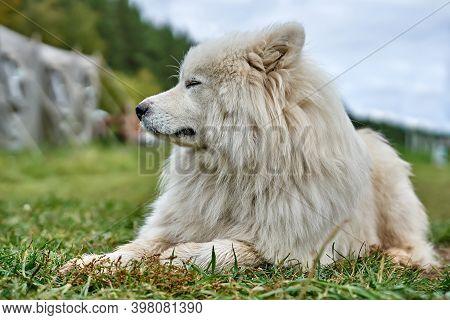 White Dog. Senior Dog. Long-haired White Old Dog Lying On The Grass