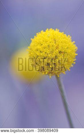 Close Up Of A Single Australian Native Yellow Billy Button Flower Head, Craspedia Glauca, Daisy Fami