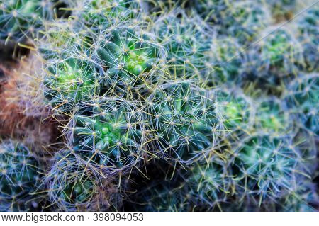 Green Cactus, Succulent On The Windowsill With Light Soft Background. Home Plants On The Windowsill