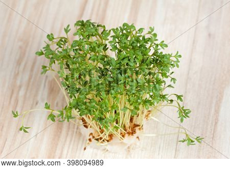 Garden Cress  Growing From Cotton Pad , Top View. Lepidum Sativum, Also Called Mustard And Cress, Ga