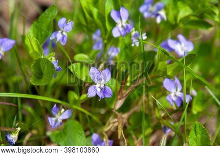 Flowers Wild Forest Violet Or Viola Odorata In Spring Forest