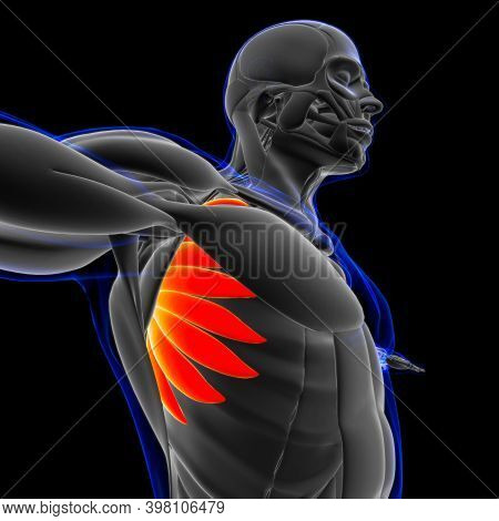 Serratus Anterior Muscle Anatomy For Medical Concept 3D Illustration
