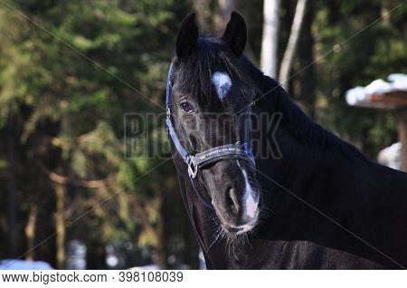 Black Horse In Corral