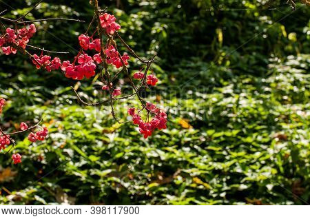 Ripe Red Fruits Of An European Spindle Shrub Hanging At Twigs In Autumn Sunlight