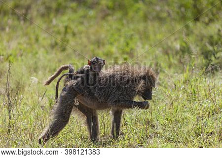 Mother And Baby Baboon Monkey In The Serengeti