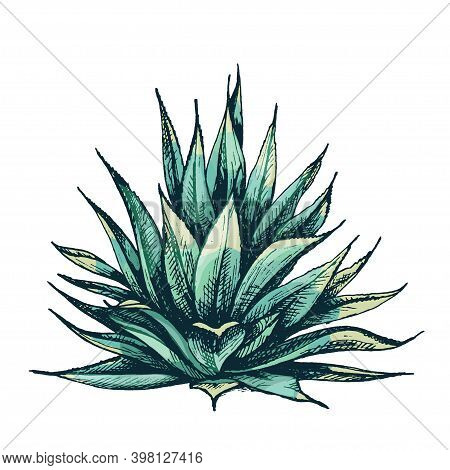 Cactus Blue Agave. Vector Vintage Hatching Color Illustration. Isolated On White Background.