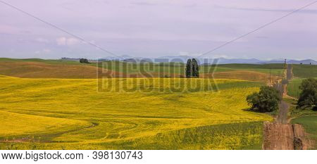 Tall trees in the middle of rapeseed fields in Palouse, Washington state