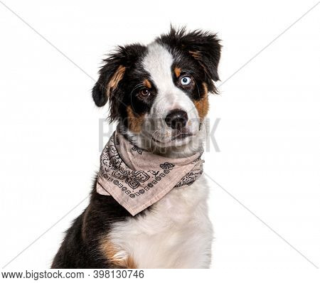 Close-up on a odd-eyed australian Shepherd wearing a scarf dog