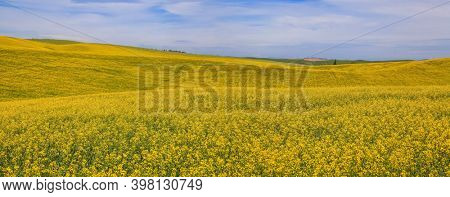 Panoramic view of rapeseed fields in Palouse, Washington state