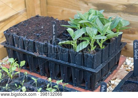 Roottrainers With Vegetable (broad Beans) Seedlings Growing In A Cold Frame, Uk
