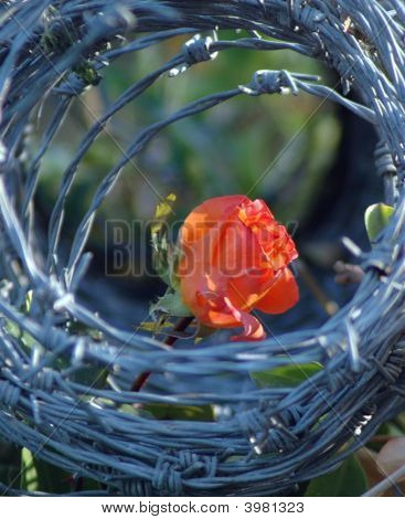 A Rose Betveen Barbed-Wire Barriers