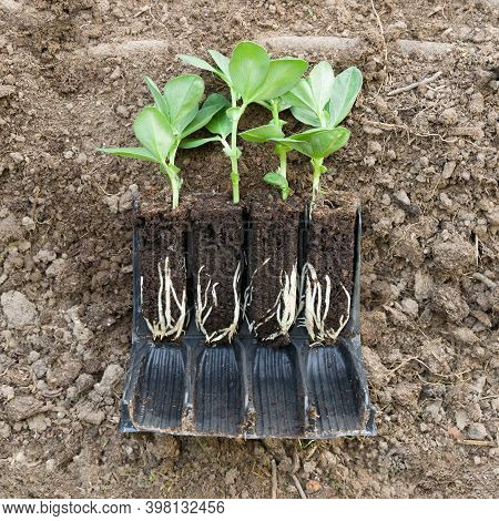 Vegetable Plant (broad Bean De Monica) Seedlings In Roottrainers On Soil With Roots Visible, Uk