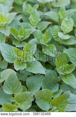 Fresh Oregano Herbs, Closeup Of Mediterrenean Oregano Herb Plants Growing In A Garden, Uk