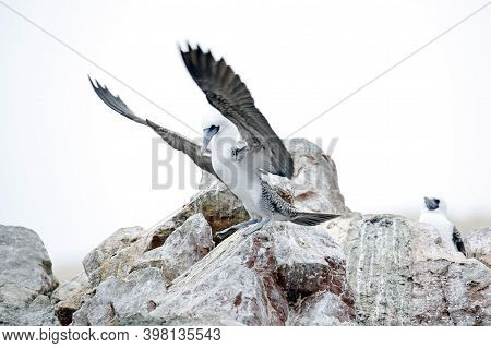 Peruvian Booby (sula Variegata) About To Take Off From A Rock. Ballestas Islands, Paracas, Peru
