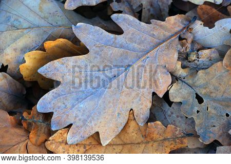 autumn oak leafage  abstract background