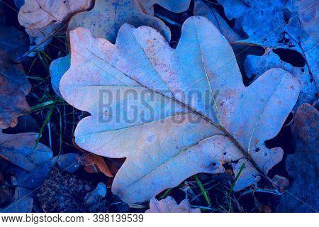 frozen dry autumn oak leafage in forest