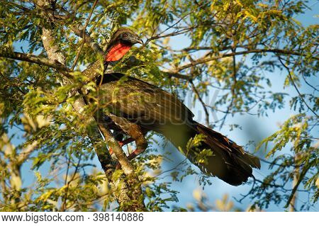 Crested Guan - Penelope Purpurascens Black Crested Bird,  Ancient Group Of Birds Of Cracidae, Found