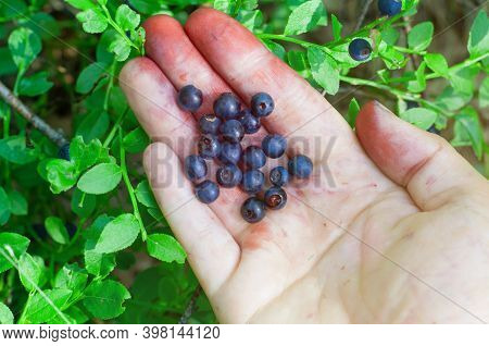 Picking Blueberries In Forest. Woman Hands Picking Buleberries. Red Hands After Blueberries Picking.