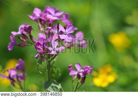 Annual Honesty - Lunaria Annual - Annual Silver Leaf
