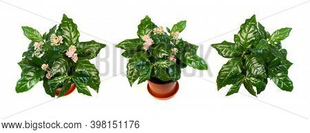 Green coffee leaves on a white background. Green bush Arabica coffee
