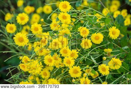 Closeup Of Chrysanthemum Flowers Growth In The Nature. Chrysanthemum Flowers Is The Ingredient For M