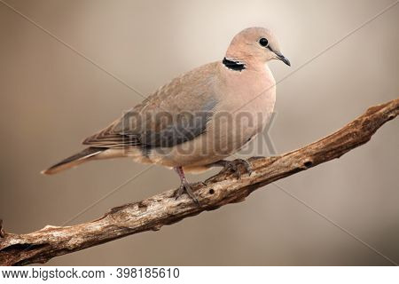The Ring-necked Dove (streptopelia Capicola) Or The Cape Turtle Dove Or Half-collared Dove Sitting O
