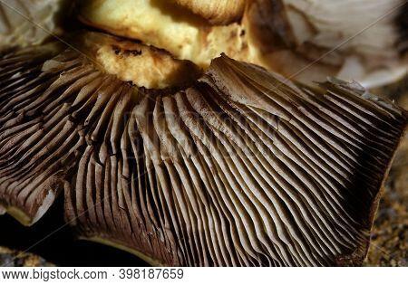 Gills On Underside Of Toadstool Fungus. Macro Image.