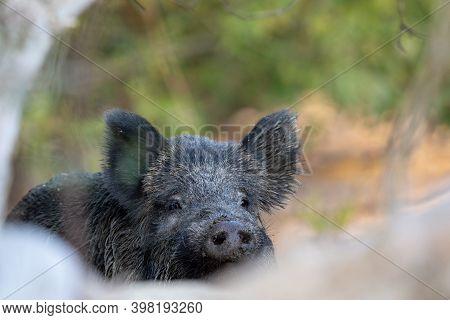 Portrait Of Female Wild Boar (sus Scrofa Ferus) In Forest. Wildlife In Natural Habitat