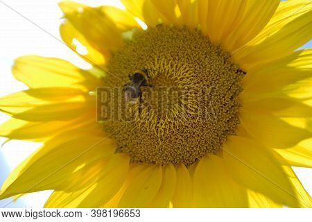 Wild Bee On Flower With Nectar Blooming In Field Countryside. Countryside Consisting Of Bee, Wild Br